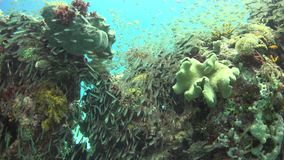 Tropical Fish on Vibrant Coral Reef. Underwater scene stock video