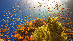 Tropical Fish on Vibrant Coral Reef Royalty Free Stock Photography
