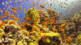 Tropical Fish on Vibrant Coral Reef Royalty Free Stock Images