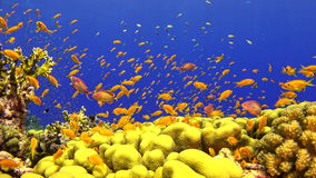 Tropical Fish on Vibrant Coral Reef Royalty Free Stock Photo
