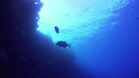 Tropical Fish on Vibrant Coral Reef. Underwater scene stock footage