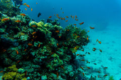 Tropical Fish on Vibrant Coral Reef, underwater scene Royalty Free Stock Images
