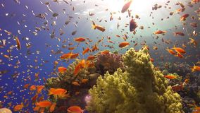 Tropical Fish on Vibrant Coral Reef. Underwater static scene stock video footage