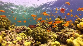 Tropical Fish on Vibrant Coral Reef. Underwater static scene stock video