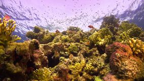 Tropical Fish on Vibrant Coral Reef. Underwater static scene stock footage