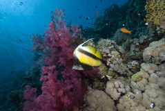 Tropical fish and vibrant reef Stock Photos
