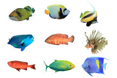 Tropical Fish on white background Royalty Free Stock Images