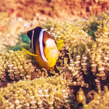 Tropical fish Yellowtail clownfish Stock Photo