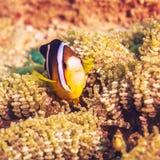 Tropical fish Yellowtail clownfish stock photo