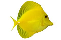 Tropical Fish Z. flavescens Stock Images