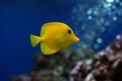 Tropical fish Zebrasoma flavescens Royalty Free Stock Images
