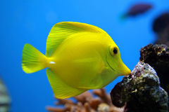 Tropical fish Zebrasoma flavescens Stock Photo