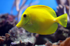 Tropical fish (Zebrasoma flavescens) Royalty Free Stock Images