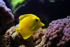 Tropical fish (Zebrasoma flavescens) Stock Image