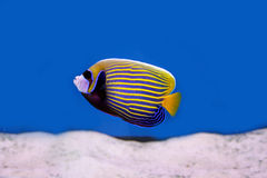 Tropical fish4. Photograph of underwater tropical fish Stock Photos