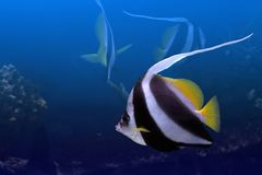 Tropical fishes. It is very colourful photo of the underwater world and  its inhabitants - exotic fishes Stock Image