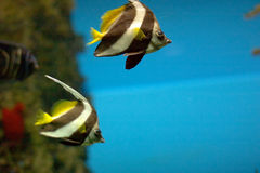 Tropical fishes. Two colorful stripped tropical fishes royalty free stock photo
