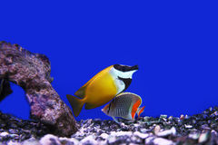 Tropical fishes. Photograph of underwater tropical fishes Stock Photo