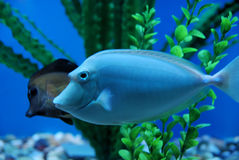 Tropical fishes Royalty Free Stock Images