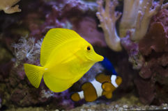 Tropical fishes. Aquarium fishes and corals. zebrasoma and anemonefish royalty free stock photography
