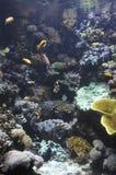 Tropical Fishes in Aquarium Stock Image