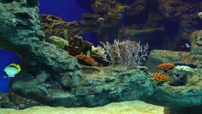 Tropical fishes in aquarium. Tropical fish and corals underwater in large aquarium stock footage