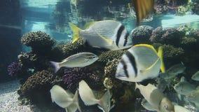 Tropical fishes in aquarium. Fishes swimming in aquarium. Underwater Observatory Marine Park. Eilat, Israel stock footage