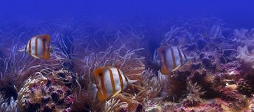 Tropical fishes - butterfly-fish. It is very colourful photo of the underwater world Royalty Free Stock Photography