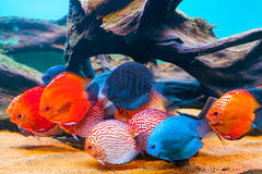 Tropical fishes. Closeup of colorful tropical fishes swimming in aquarium stock image
