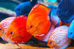 Tropical fishes. Closeup of colorful tropical fishes swimming in aquarium royalty free stock photo