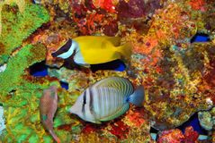 Tropical fishes in the colorful corals stock photography