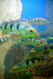 Tropical fishes in a coral reef Stock Photos