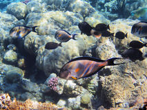 Tropical fishes on the coral reef Stock Image