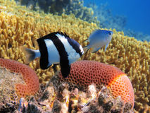 Tropical fishes on the coral reef Stock Photography