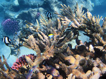 Tropical fishes on the coral reef Stock Photos