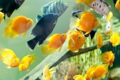 Tropical fishes meet in blue coral reef sea water aquarium. Underwater paradise Stock Image