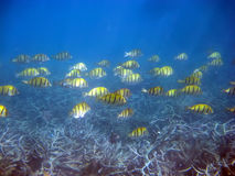 Tropical fishes аnd corals. Mauritius Stock Images