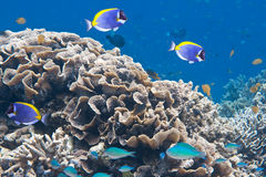 Tropical fishes аnd corals. Underwater world. Royalty Free Stock Photos