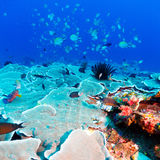 Tropical Fishes near Colorful Coral Reef Royalty Free Stock Photo