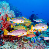 Tropical Fishes near Colorful Coral Reef Royalty Free Stock Photos