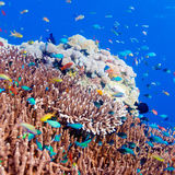 Tropical Fishes near Colorful Coral Reef Stock Photography