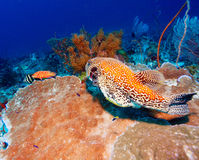 Tropical Fishes near Colorful Coral Reef Royalty Free Stock Image