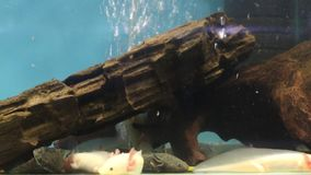 Tropical fishes with paws on bottom in transparent water of aquarium stock video footage
