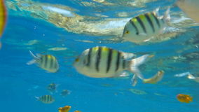 Tropical fishes. Playing and swimming. Red Sea, Egypt stock video