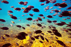 Tropical fishes in Red sea Stock Image