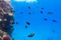 Tropical fishes of Red Sea. Coral reef of Red Sea with tropical fishes, Egypt Stock Photos