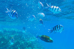 Tropical fishes of Red Sea. Coral reef of Red Sea with tropical fishes, Egypt Stock Image