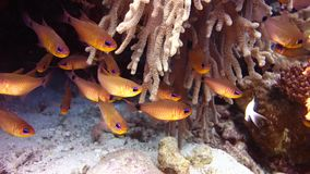 Tropical fishes. In Red Sea Egypt stock video