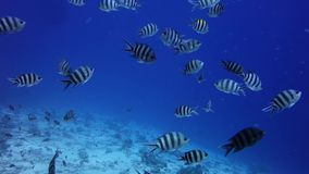 Tropical fishes. In Red Sea Egypt stock video footage