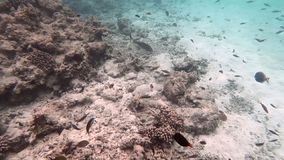 Tropical fishes in a shallow water along the coral reef, Maldives stock video footage